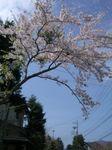 080421_mamesakura.jpg