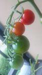 100622_tomato.jpg
